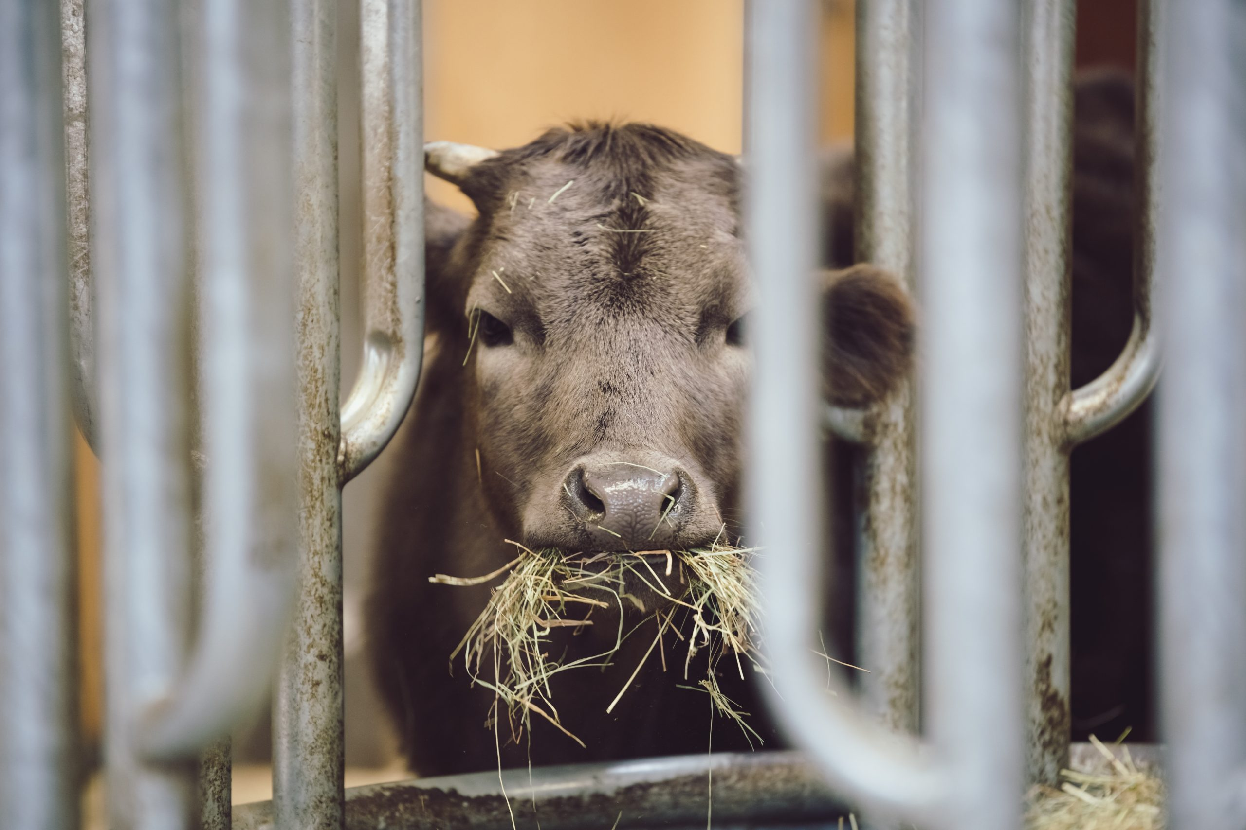 Closeup of cute calf eating hay in a stable. Ecological farming and livestock of bavarian cows. Concept for green agriculture.
