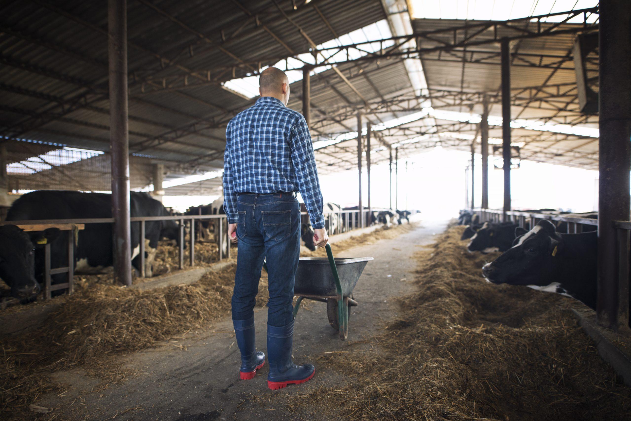 Farmer with wheelbarrow full of hay feeding cows at cattle domestic animal farm.